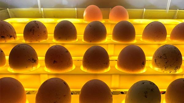 Как переворачивать яйца в инкубаторе
