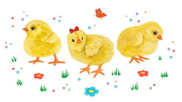 Выращивание цыплят после инкубатора