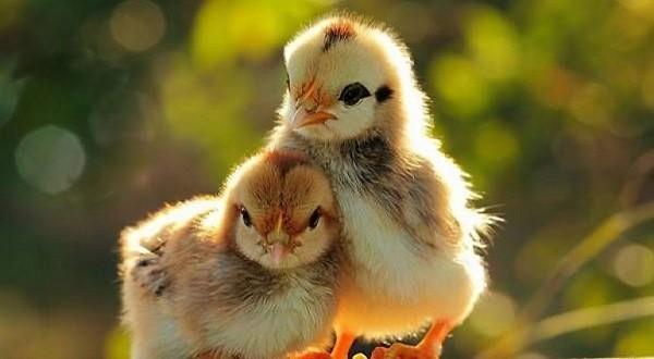 Як доглядати за курчатами після інкубатора