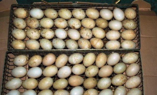 Яйца утки в выводном лотке